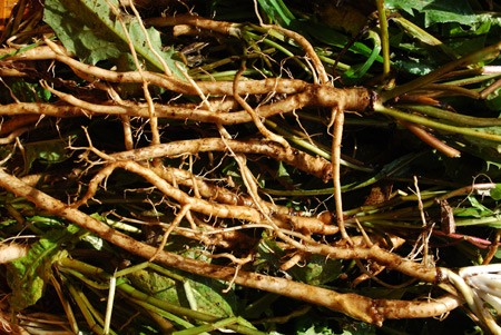 Dandelion Root (Taraxacum officinale)
