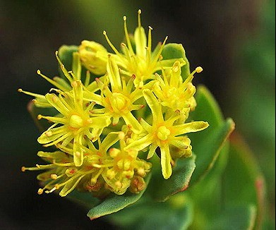 Golden Root (Rhodiola rosea)