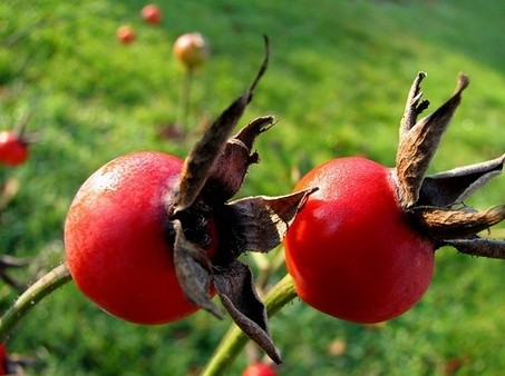 Rose Hips (Rosa canina)