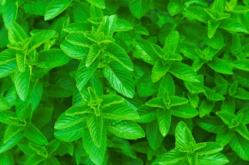 Spearmint (Mentha spicata) 