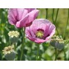 Opium Poppy Seeds (Papaver somniferum)