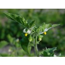 Black Nightshade (Solanum nigrum)