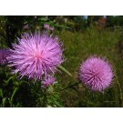 Blessed Thistle (Cnicus benedictus)  