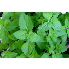Catnip (Nepeta Cataria)