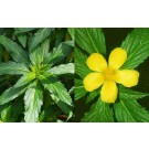 Damiana (Turnera diffusa)