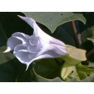 Datura (Datura metel)