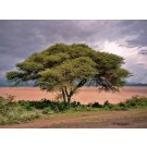 Fever Tree (Acacia xanthophloea)