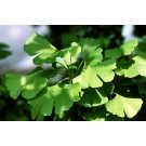 Ginkgo (Ginkgo biloba)