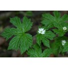 Goldenseal (Hydrastis Canadensis)  