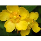 St. John's Wort seed (Hypericum perforatum)