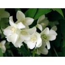 Jasmine Flower (Jasminum officinale)