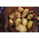 Kola Nut (Cola nitida)