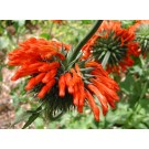 Lion's Ear, Klip Dagga (Leonotis nepetaefolia)