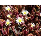 Slender Leaved Ice Plant (Mesembryanthemum Nodiflorum)