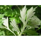 Mugwort (Artemisia vulgaris)    