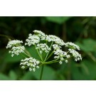 Poison Hemlock (Conium maculatum)