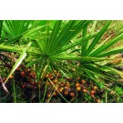 Saw Palmetto Berry (Serenoa repens)