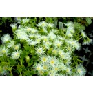 Kanna (Sceletium Tortuosum)