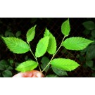 Slippery Elm (Ulmus Fulva)