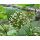 Sarsaparilla (Smilax regelii)