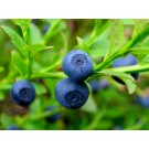 Bilberry Fruit (Vaccinium myrtillus)