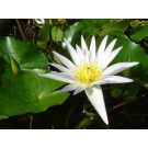 White Lotus (Nymphaea alba)