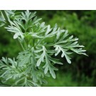 Wormwood (Artemisia Absinthium)