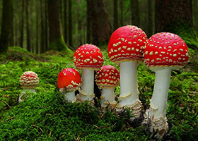 Amanita Muscaria, Fly Agaric Mushrooms