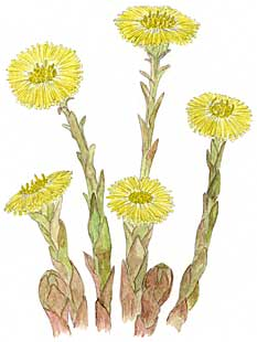 http://www.herbalfire.com/images/Coltsfoot.jpg