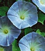Morning Glory - Ipomoea