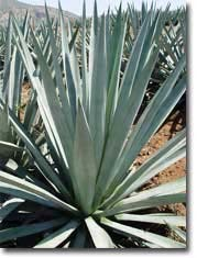 Agave Tequilana - Weber's Blue Agave (OUT OF STOCK)