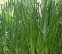 Acorus Calamus (Sweet Flag) Live Plants (OUT OF STOCK)
