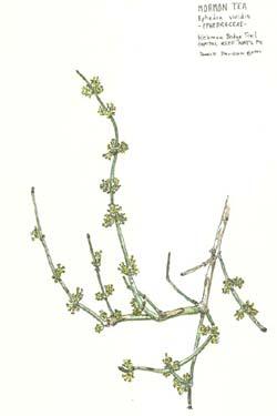 Buy Mormon Tea (American Ma Huang) :: Ephedra viridis :: Herbal Fire