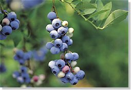 Vaccinium myrtillus - Bilberry Fruit (OUT OF STOCK)