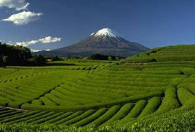 Japanese Green Tea Farm