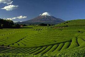 Japanese Green Tea Farm