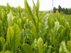 Sencha Japanese Green Tea Harvest