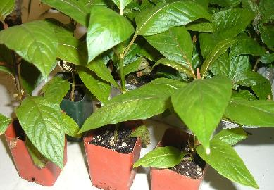 Live Kratom Plants Mitragyna Speciosa For Sale At Herbal