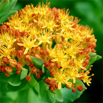 Rhodiola rosea - Golden Root