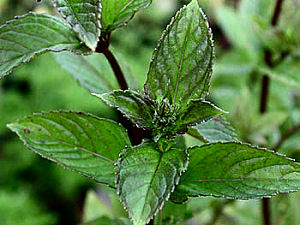Mentha spicata, Spearmint for sale at Herbal Fire Botanicals
