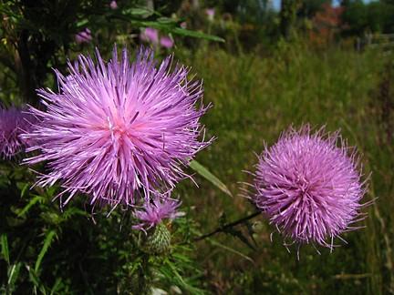 Blessed Thistle :: Cnicus benedictus