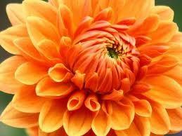 Chrysanthemum :: Chrysanthemum morifolium