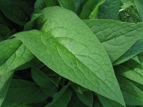 Comfrey Leaf :: Symphytum officinale