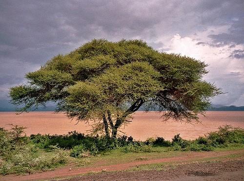 Fever Tree :: Acacia xanthophloea