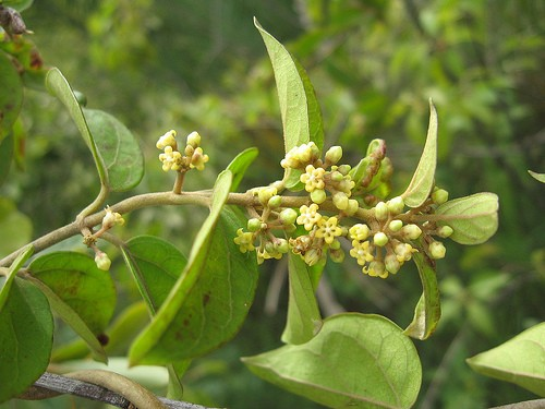 Gymnema Leaf :: Gymnema sylvestre