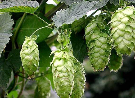 Hops :: Humulus lupulus