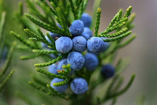 Juniper Berries :: Juniperus communis