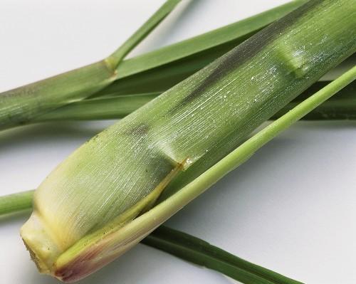 Lemongrass :: Cymbopogon citratum