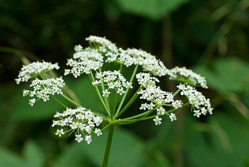 Poison Hemlock :: Conium maculatum