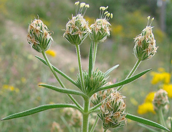 Psyllium :: Plantago psyllium